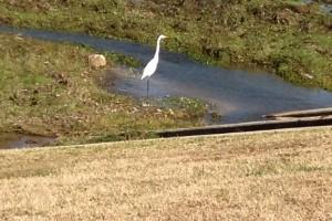 A lone egret