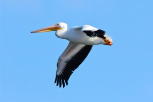 White Pelican Flying Alone